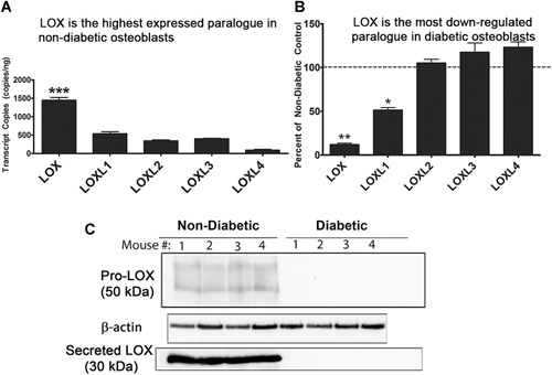 Diabetic primary bone cells. ( A ) LOX is the highest expressed paralog in nondiabetic primary osteoblasts. Absolute quantification of LOX isoforms in nondiabetic primary osteoblasts. Data were calculated based on a standard curve of known transcript copy numbers and normalized to the amount of cDNA added ( n = 5). ( B ) LOX is the most highly inhibited paralog in primary diabetic osteoblasts. Data represent percent of nondiabetic controls calculated using the ΔΔCT method using GAPDH internal control. Data are pooled from three independent experiments (data are means ± SE, * p