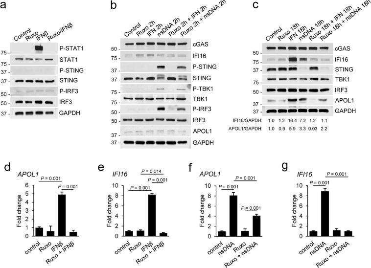 nsDNA-induced APOL1 expression is partly attenuated by JAK1/JAK2 inhibitor Ruxolitinib. ( a ) Ruxolitinib (Ruxo) inhibited IFNβ-mediated phosphorylation of STAT1. Sets of AB8/13 podocytes were treated with DMSO (solvent) only (Control), treated for 2 h with 5 μM Ruxo, treated for 15 min with 10 ng ml −1 IFNβ, or pretreated with Ruxo for 2 h followed by IFNβ stimulation for 15 min (Ruxo/IFNβ). The blot images were obtained from different gels. The blot probed for P-STAT1 was re-probed for GAPDH. ( b , c ) AB8/13 podocytes were treated with Ruxo and IFNβ as indicated and subsequently transfected with 1 μg ml −1 nsDNA for 2 h ( b ) or 18 h ( c ). The IFI16/GAPDH and APOL1/GAPDH ratios in unstimulated cells (Control) were both set as 1.0. The blot images in ( b ) were obtained from different gels. The blot probed for P-IRF3 was re-probed for P-STING. Other blot images were cropped from individually probed blots. The blot images in ( c ) were obtained from different gels. The blot probed for IFI16 was re-probed for cGAS. Other blot images were cropped from individually probed blots. Full images of all blots are shown in Supplementary Fig. S7 . ( d , e ) Ruxo abolished expression of APOL1 ( d ) and IFI16 mRNA ( e ) induced by exogenous IFNβ. ( f , g ) Ruxo partially inhibited nsDNA-induced APOL1 mRNA expression ( f ) but abolished nsDNA-induced IFI16 mRNA expression ( g ). Expression of APOL1 and IFNβ mRNA was analyzed by qRT-PCR 18 h after transfection with 1 μg ml −1 nsDNA. mRNA expression was normalized to GAPDH mRNA levels. Data are expressed as means ± SEM from three biological replicates (one-way ANOVA with post-hoc Tukey test).