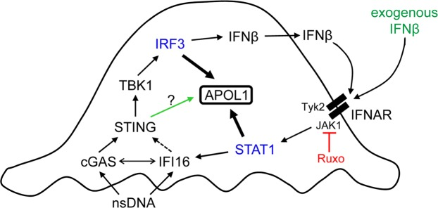 Our proposed model of nsDNA-induced APOL1 expression through engagement of the cGAS/IFI16-STING pathway in human immortalized AB8/13 podocytes. Binding of cytosolic nsDNA by cGAS and IFI16 activates STING, which subsequently activates TBK1. Activated TBK1 phosphorylates IRF3, which promotes transcription of APOL1 and IFNβ . IFNβ released from the cells (or exogenous IFNβ) binds to IFNAR. IFNAR-associated JAK1 and Tyk2 kinases then phosphorylate STAT1, which promotes transcription of APOL1 and IFI16 . A putative IFI16-mediated activation of STING is indicated by a dashed arrow. A potential cooperation between cGAS and IFI16 is indicated by a double-headed arrow. Deficient STING phosphorylation observed in cGAS- or IFI16-knockdown cells (Fig. 6 ) suggests that nsDNA-induced APOL1 expression may be mediated by a phospho-STING-independent pathway, marked by a green arrow. A dual JAK1/JAK2 inhibitor Ruxolitinib (Ruxo) suppresses STAT1 activation and thereby inhibits IFI16 expression and STAT1-mediated APOL1 expression. Since IFNAR-mediated signaling involves JAK1 but not JAK2, our model only depicts the inhibition of JAK1 by Ruxo. Ruxo does not affect IRF3-mediated APOL1 expression.