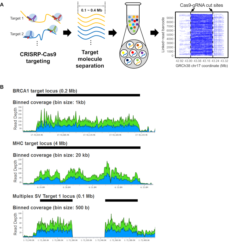 CATCH targeting and linked read sequencing of HMW DNA. ( A ) Overview of the process is illustrated. First, guide RNAs target and cut multiple genomic regions of interest. Second, target HMW DNA within the specific size range is isolated by an electrophoresis-based process. At last, the target DNA is used for linked read library preparation and sequencing. The alignment of barcode linked reads shows how sequence coverage is increased across the target segment. In the alignment plot, the X -axis indicates the reference coordinates and the Y -axis shows different barcodes representing individual HMW molecules. Dashed vertical lines indicate Cas9-gRNA cut sites. ( B ) Sequencing coverage for the target regions is shown for the three assays. For Assays 1 and 2, BRCA1 -R2 and MHC-30 libraries are shown. For Assay 3, an example of a homozygous deletion (SV1) is shown. Black bars indicate the target regions. Blue and green areas in plots indicate coverage for forward and reverse reads, respectively.