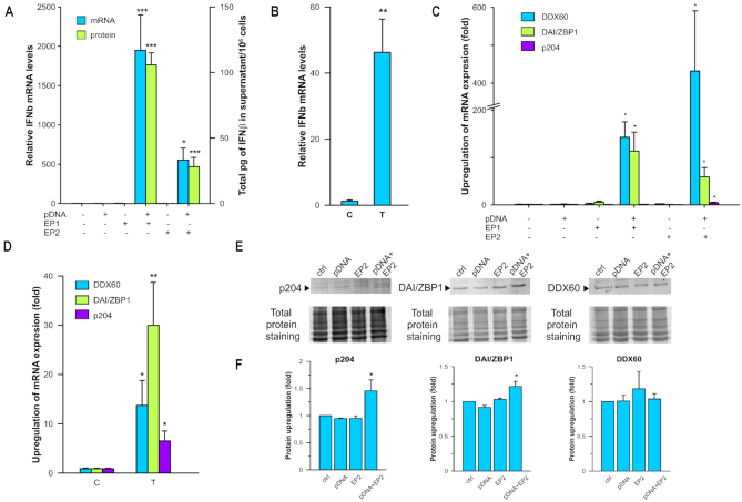 Effects of pDNA transfection on IFN β production and expression of putative cytosolic DNA sensors. ( A ) IFN β mRNA levels 4 h and protein levels 6 h after transfection using electroporation with gWizBlank normalized to control group ( n = 3–10). ( B ) IFN β mRNA levels 4 h after transfection using Transit (T) normalized to control group (C) ( n = 6–8). ( C ) DDX60, DAI/ZBP1 and p204 mRNA levels 4 h after electroporation normalized to control group ( n = 3–9). ( D ) DDX60, DAI/ZBP1 and p204 mRNA levels 4 h after chemical transfection (T) normalized to control group (C) ( n = 8). ( E ) Representative western blots of DDX60, DAI/ZBP1 and p204 proteins 8 h after transfection using EP2. ( F ) DDX60, DAI/ZBP1 and p204 upregulation 8 h after transfection using EP2 normalized to control group ( n = 3 for each protein). * P