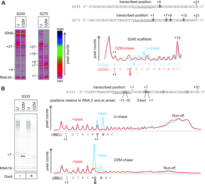 Transcription through a template encoding an OZM-responsive arrest site by Eco RNAP. TECs were assembled using the scaffolds shown to the right of the gel panels (only the non-template DNA strands are shown) and chased with 100 μM ATP, CTP, GTP and UTP or OZM-triphosphate for 5 min at 25°C in the presence or absence of 2 μM GreA. The sequence corresponding to the annealing region of the RNA primer is underlined, thymidines in the transcribed region are highlighted. Each assay was performed in triplicate. ( A ) Transcription through two representative short templates. The lane profiles depict the effect of OZM on transcription of the S245 template (left gel panel). Pixel counts were linearly scaled to span 256 gradations within each gel panel. Gels were pseudocolored using the RGB lookup table shown to the right of the gel panels to visualize the low intensity bands. ( B ) Transcription through the simplified and longer derivative of the S275 template (right gel in A) that encodes the OZM-responsive arrest site. The OZM-responsive arrest site at +7 encodes the main determinants of a consensus pause: pyrimidine at the RNA 3′ end, purine at +1 and Gs at −11 and −10, these determinants are shown in bold. Pixel counts were linearly scaled to span the full 8-bit grayscale range. Lane profiles quantified from the gel are presented on the right. The RNA rescued from the arrest site by GreA in OZM-chase does not quantitatively reappear upstream or downstream of the arrest site (see the text for details and possible explanations).