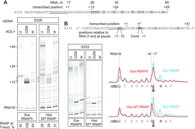 The effect of OZM on processive transcription by Sce RNAPII and Hsa MT RNAP. TECs were assembled using the scaffolds shown above the gel panels (only the non-template DNA strands are shown) and chased with 100 μM ATP, CTP, GTP and UTP or OZM triphosphate or ΨTP, for 5 min at 25°C. The sequences corresponding to the annealing region of the RNA primer are underlined. Thymidines in the transcribed region are highlighted. Pixel counts were linearly scaled to span the full 8-bit grayscale range within each gel panel. Each assay was performed in triplicate. ( A ) Transcription through the four-thymidine tract. ( B ) Transcription through the OZM-responsive arrest site. OZM lane traces are shown to the right, the Eco RNAP trace was quantified from the gel in Figure 6B .