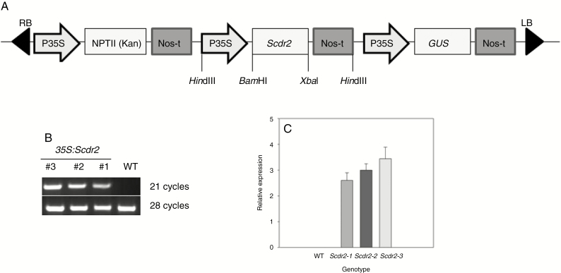 Cloning strategy used for Scdr2 overexpression in tobacco plants. (A) The complete coding sequence of Scdr2 was cloned under the control of the constitutive Cauliflower mosaic virus (CaMV) 35S promoter (p35S) and with the NOS polyadenylation signal (Nos-t) using pCambia2301 as the backbone. nptII (kanamycin resistance) gene expression was also driven by the p35S promoter. LB and RB correspond to the T-DNA left and right borders, respectively. Positions of some of the restriction sites are indicated. (B) Expression of Scdr2 in <t>three</t> independent T 3 generation transgenic lines and the WT. Total <t>RNA</t> was extracted from 2-week-old seedlings and then analysed using semi-quantitative RT–PCR. The Scdr2 gene product was obtained after 21 cycles, while the product of the tobacco actin gene, which was used as an internal standard, was obtained after 28 cycles ( n = 3). (C) Densitometric analysis of Scdr2 expression that was obtained from the semi-quantitative RT–PCR shown in (B).