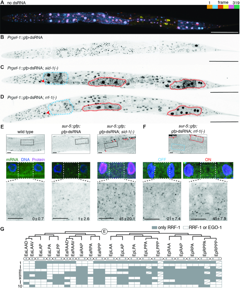 Identities of cells that require RRF-1 for silencing by neuronal dsRNA vary from animal to animal. ( A ) GFP expression from the sur-5::gfp chimeric gene enables simultaneous visualization of most somatic nuclei in C. elegans . A depth coded (one color for ∼53 frames) projection of 5 Z-stacks that were stitched together from a single L4-staged animal is shown (also see Materials and Methods). Scale bar = 100 μm. ( B-D ) Expression of gfp -dsRNA in neurons causes silencing throughout the animal that is entirely dependent on SID-1 and partially dependent on RRF-1. Representative images of L4-staged sur-5::gfp animals that express Prgef-1::gfp -dsRNA (B) and additionally lack sid-1 (C) or rrf-1 (D) are shown. Maximum intensity projections of sections were stitched together to generate whole-worm images. Presence of gfp- dsRNA causes worms to twist because of the rol-6 co-injection marker. Cells that require RRF-1 for silencing (e.g. the excretory canal cell indicated by red arrows and some intestinal cells in red dashed lines) and cells that can silence in the absence of RRF-1 (e.g. some intestinal cells shown in blue dashed lines) are highlighted in Prgef-1::gfp- dsRNA ; rrf-1(-) and in Prgef-1::gfp -dsRNA; sid-1(-) animals. Scale bar = 100μm. ( E, F ) Silencing in rrf-1(- ) animals by neuronal dsRNA is associated with a decrease in sur-5::gfp mRNA levels. Single molecule FISH was used to detect sur-5::gfp mRNA in L4-staged wild-type animals (E, left ) or in sur-5::gfp animals that express Prgef-1::gfp- dsRNA (E, middle ) and that in addition lack sid-1 (E, right ) or rrf-1 (F). RNA from Prgef-1::gfp- dsRNA is prominently detected by gfp probes in neuronal nuclei (red arrows and bracket). A representative pair of intestinal nuclei is shown for each animal as an overlay of DNA (DAPI in blue), mRNA ( gfp in green) and protein (GFP in magenta). Cytoplasmic mRNA foci were counted (see Materials and Methods) between two nuclei in wild-type or in sid-1(-) backgrounds (E), and between two nuclei where GFP is silenced (off, blue) and where GFP is expressed (on, red) in rrf-1(-) animals. Errors indicate 95% confidence intervals, n = 3 in E and n = 4 in F. Top scale bar = 10 μm and bottom scale bar = 5 μm. ( G ) No intestinal cell requires RRF-1 for silencing in all animals. The E blastomere divides to generate 20 intestinal cells (EaLAAD to EpRPPP). Of the 20 cells, 10 undergo nuclear division without cell division (two grey circles per cell), 4 sometimes undergo similar nuclear division (one grey circle and one open circle per cell), and 6 do not undergo any division (one grey circle per cell). In each of 10 sur-5::gfp; rrf-1(-); Prgef-1::gfp -dsRNA L4-staged animals, GFP-positive nuclei (use only RRF-1, gray) and GFP-negative nuclei (use EGO-1 or RRF-1, white) were scored. Every binucleate cell had both nuclei with the same requirement. White boxes with a slash indicate absence of second nucleus because of lack of nuclear division ( 52 ). See Supplementary Figure S7 for images of additional animals.