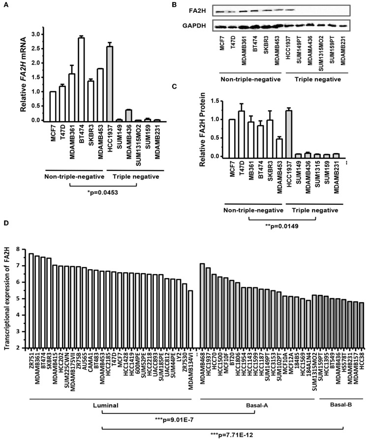 FA2H expression among breast cancer cell lines. (A) FA2H gene expression among different breast cancer cell lines by <t>qRT-PCR.</t> (B) FA2H protein expression among different breast cancer cell lines by Western-blotting. (C) FA2H protein expression quantified using the ImageJ software. (D) FA2H gene expression across 56 breast cancer cell lines ( 26 ).