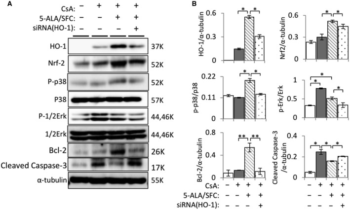 5‐ALA/SFC increased HO‐1 and Nrf2 expression via activation of MAPK signaling pathway in mProx24 cells. (A) After pretreatment with HO‐1 siRNA, representative bands of different groups showed HO‐1, Nrf2, p38, p‐p38, Erk‐1/2, p‐Erk‐1/2, Bcl‐2, and cleaved‐caspase‐3 proteins in mProx24 cells treated with 5‐ALA/SFC. (B) Quantitative densitometry was performed. Data are the mean ± SD. Statistical significance was measured by Student's t ‐test. Correlations were determined by Spearman's ranking ( n = 3; * P