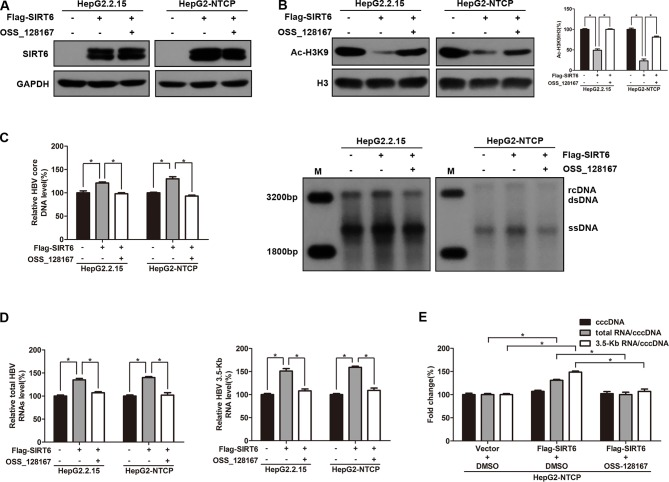 Sirtuin 6 (SIRT6) overexpression promoted hepatitis B virus (HBV) transcription depends on its deacetylase activity. (A – E) HepG2.2.15 and HBV-infected HepG2-sodium taurocholate cotransporting polypeptide (NTCP) cells were transfected with plasmids expressing Flag-SIRT6 and exposed to OSS_128167 at 1 day post-transfection. (A – B) Total protein was extracted at 3 days post-transfection and subjected to western blotting. Glyceraldehyde 3-phosphate dehydrogenase and H3 were used as the loading control, respectively. Band intensities were quantified by ImageJ software and normalized to H3. (C) HBV core deoxyribonucleic acid (DNA) were extracted at 4 days post-transfection. Then real-time polymerase chain reaction (PCR) and southern blotting were performed to detect HBV core DNA level. (D) After 3 days post-transfection, total ribonucleic acid (RNA) was extracted by using TRIzol reagent and total HBV RNAs and 3.5-Kb RNA levels were detected by real-time PCR with specific primers. β-actin was used as the internal control. (E) HBV-infected HepG2-NTCP cells were transfected with plasmids expressing Flag-SIRT6, then treated with OSS_128167 1 day later. HBV covalently closed circular DNA (cccDNA) was extracted and applied for real time PCR. The ratios of total HBV RNAs/cccDNA and 3.5-Kb RNA/cccDNA were calculated. Data represented the mean ± SD of three independent experiments. *:P