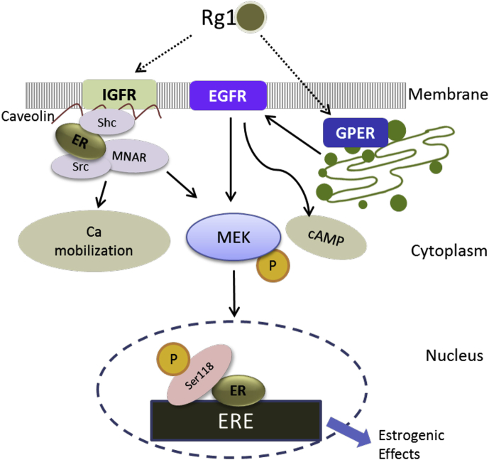 Possible mechanisms of actions of Rg1 in ER positive cells . Rg1 (1) activates the recruitment of ERα to plasma membrane via the formation of signalsome containing caveolin, Shc, MNAR, IGFR, and c-Src and induces an increase in intracellular Ca mobilization; (2) activates GPER–EGFR cross talk and induces an increase in intracellular cAMP; and (3) leads to an increase in MEK1/2 phosphorylation and ERα phosphorylation at Ser118, followed by an induction of ERE-dependent transcription and finally the exertion of estrogenic effects.