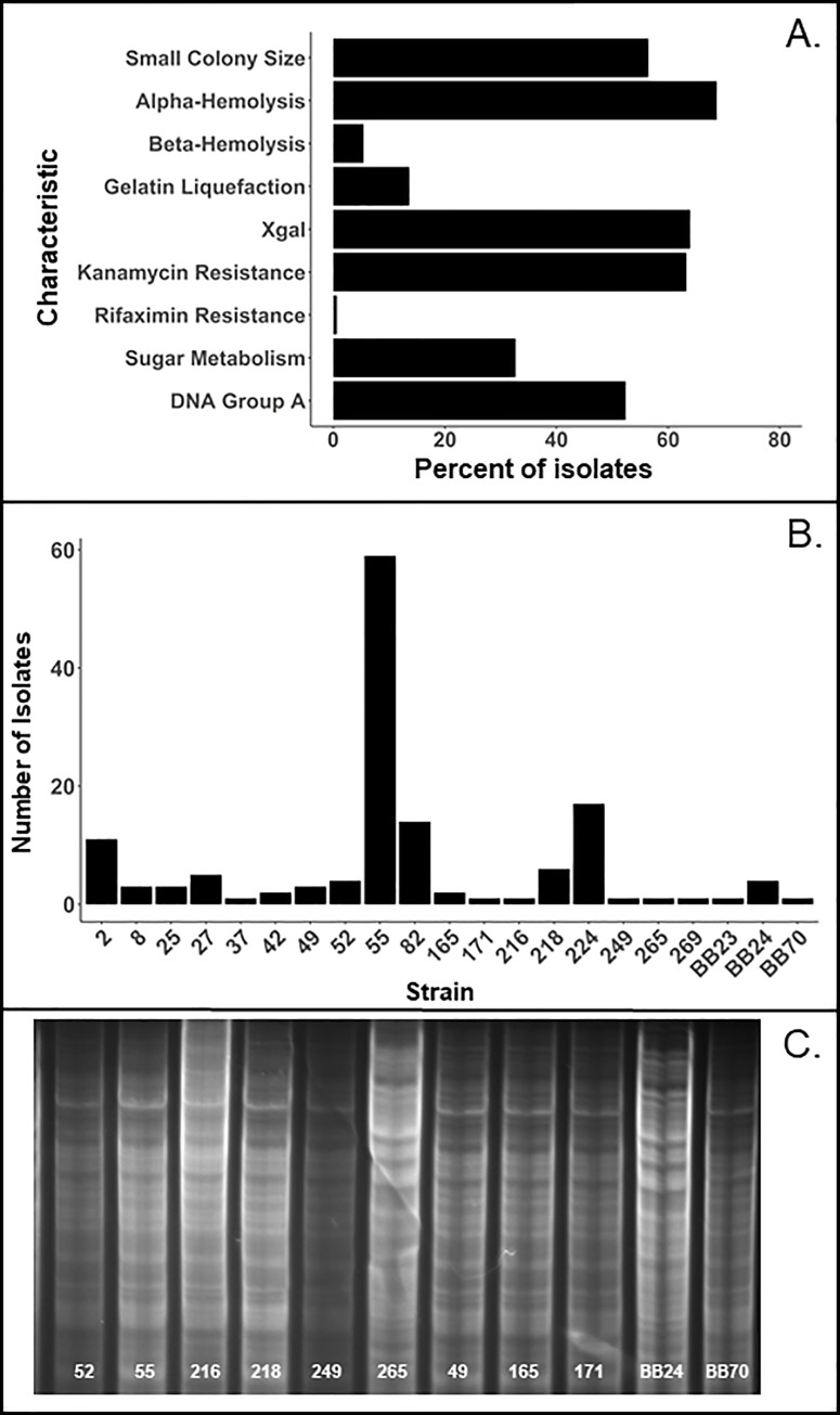 Diversity of E . faecalis in rats. Frequencies of different phenotypes ( A ) and different strains ( B ) within a group of E . faecalis isolates (n = 147) from 4-day old rats. ( C ) Patterns of genomic DNA Hin d III fragments of indicated strains. Note dissimilarity of DNA patterns A (55–249, 49–171, and BB70) and B (265, BB24).