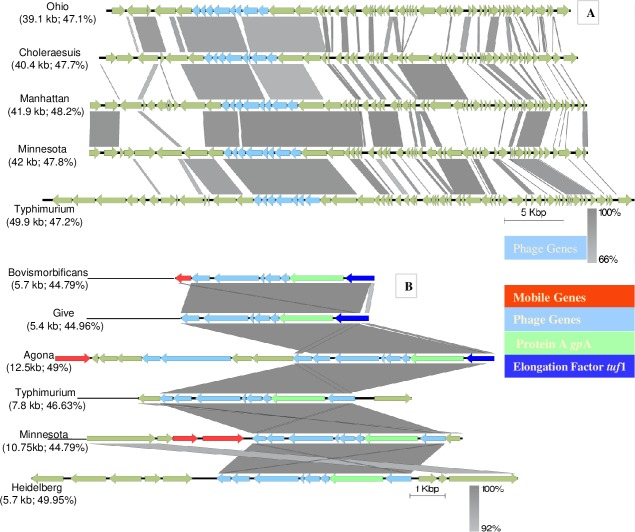 Alignment of closely homologous intact integrated phage among Salmonella serotypes. A. Phage genes synteny in five serotypes. B. Phage gene arrangement along with mobile genes (transposase, recombinase) in six serotypes. The arrow shows orientation of the genes and genes are color coded to define mobile, phage and other genes.