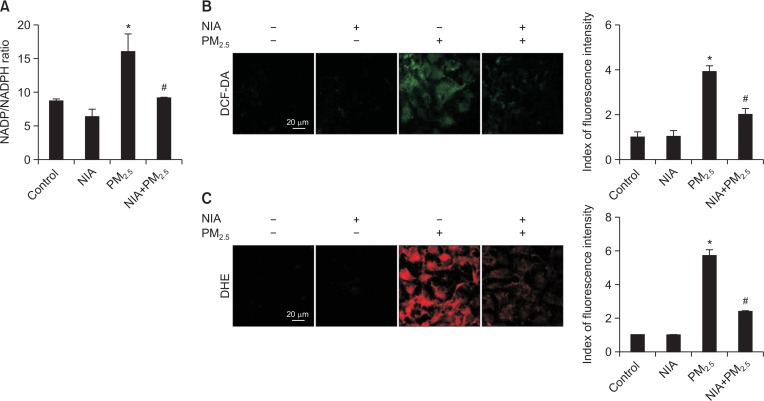 NIA cleared ROS by inhibiting NOX activity induced by PM 2.5 . (A) The ratio of intracellular NADP and NADPH was assessed using NADP/NADPH assay kit. (B) Intracellular ROS was detected after staining of cells with DCF-DA dye. (C) Superoxide generation was detected after dying cells with DHE. NIA diminished superoxide levels induced by PM 2.5 . * p