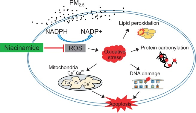 Schematic diagram showing the protective action of NIA on PM 2.5 -induced cell damage. NIA protected keratinocytes by suppressing ROS generation by decreasing the NADP/NADPH ratio. Further, NIA prevented oxidative stress-induced molecules damage, including lipid peroxidation, protein carbonylation, and DNA modification. NIA could also stabilize mitochondrial membrane potential by balancing calcium levels, which was disrupted by PM 2.5 . Finally, NIA protected cells from PM 2.5 -induced apoptosis.