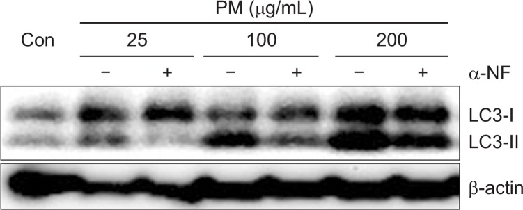 <t>α-NF</t> stimulation decreases the LC3 in keratinocytes. Cells were treated with different concentrations of PM (25, 100, 200 μg/mL) and α-NF (6 h; 5 μM) for 24 h and analyzed by Western blot. β-actin was used as a loading control.