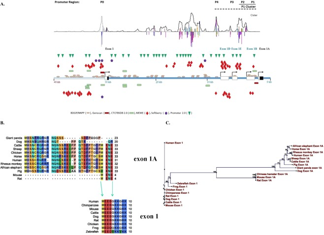 Genomic structure, conservation, and variability among alterative start-codon exons and promotors of CCM2. ( A ) The complex promoter regions of human CCM2 locus were defined with bioinformatics (promoter prediction software from top to bottom: Cister, promotor2.0, Softberry, MEME, CTCFBSDB, BDGP/NNPP and Genscan as indicated by different colors). Symbols on top of DNA templates are on positive strand, below are on negative strand. The single promoter for the original bonafide start-codon exon, exon 1, simply lies immediately upstream of the transcription start site for exon 1, as P0. The promoter region for exon 1A is much more complicated. Although a seemingly weak promoter, P1 lies immediately upstream of its transcription-start site; in addition, there are three relatively strong promoters (P2-P4) upstream adjacent to P1 promoter. Three exons (exon 1B, 1D, 1E) with the transcription start site driven by these three promoters (P2-P4), respectively, usually skip exon 1A (coding exon), presumably to down-regulate the transcription level of group B CCM2 isoforms. Genomic structure of 5′ region of the human CCM2 locus is schematically summarized in this map. Noncoding region within a transcription-start exon labeled as white box while coding region within the exon labeled as black box. ( B ) Multiple-alignment between two alterative start codon exons (exon 1 and exon 1A) across species reveals a vertebrate-specific exon 1 and a mammalian-specific exon 1A and their evolutional relationship. Exon 1A is evolutionarily evolved from exon1 with its C-terminus homolog to the N-terminus of exon1. ( C ) Phylogenetic relationships between exon 1A and exon 1 among CCM2 isoforms across species based on neighbor joining (NJ) method which hypothesizes a stochastic process in different lineages during evolution.