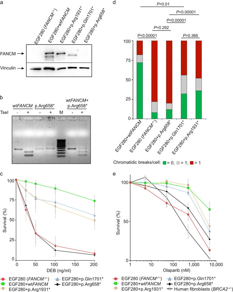 Functional studies of the FANCM :p.Arg658*, p.Gln1701* and p.Arg1931* truncating variants using the patient-derived FANCM − / − EGF280 cell line. a Western blot showing the FANCM expression in EGF280 cells complemented with lentiviral vectors harboring the three different variants. Bands corresponding to truncated FANCM protein were visible for EGF280 + p.Gln1701* and p.Arg1931*, and no bands were present for the EGF280 + p.Arg658*. b Study of the expression of the FANCM protein in EGF280 + p.Arg658*. The c.1972C > T base substitution, causing the p.Arg658* variant abrogates a digestion site for the restriction enzyme Tse I that is present in the wild-type (wt) cDNA sequence. Total RNA was extracted from EGF280 + wt FANCM and from the EGF280 + p.Arg658* and subjected to reverse transcription. PCR-amplified cDNA products were digested with Tse I. Digested and undigested cDNAs were loaded. In the first two lanes are shown bands of 386 bp corresponding to uncut wt cDNA, and bands of 257 and 129 bp corresponding to cut wt cDNA. In next two lanes bands of 386 bp indicate that p.Arg658* cDNA was not cut due to the c.1972C > T base substitution abrogating the Tse I site. In the two lanes after the molecular weight marker (M) undigested and digested products of the two previous PCR products were mixed 1:1 and loaded as a control. c Analysis of diepoxybutane (DEB) sensitivity on cell survival. The EGF280 cells expressing p.Arg658* are significantly more sensitive to DEB than the cells expressing p.Gln1701* or p.Arg1931* ( P-values from Tukey's range test are reported in Supplementary Table 4 ). EGF280 and EGF280 + wtFANCM are used as controls ( N = 3; error bars: standard deviation). d Chromosome fragility induced by DEB treatment (100 ng/ml). Here, the chromatidic break patterns of the cells expressing wt FANCM, of the cells harboring p.Gln1701* or p.Arg1931* variants, and of the native EGF280 cells or the cells expressing p.Arg658* were statistically different. ( P-values 