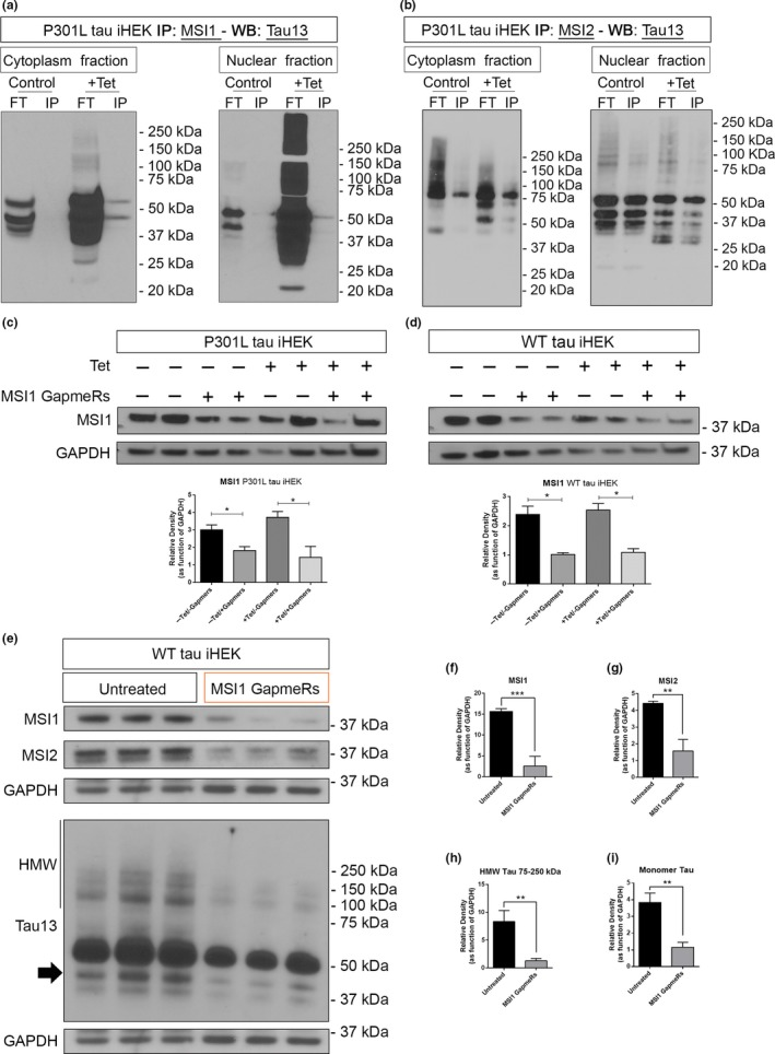Interaction of tau with MSI proteins and <t>MSI1</t> silencing effect on tau levels. (a) Western blot of tau13 in MSI1 IP cytoplasm and nuclear fractions from P301L tau iHEK. (b) Western blot of tau13 in MSI2 IP cytoplasm and nuclear fractions from P301L tau iHEK. (c) Western blot of MSI1 from total lysate of P301L tau iHEK and relative quantification. (d) Western blot of MSI1 from total lysate of WT tau iHEK and relative quantification. (e) Western blot of MSI1, MSI2, and Tau13 in untreated and silenced WT tau iHEK total lysates. (f) MSI1 quantification. (g) MSI2 quantification. (h–i) HMW (75–250 kDa) tau and monomeric form (black arrow) quantification. Bar Graphs are used to show quantification of relative density as function of <t>GAPDH.</t> Student's t test has been use to determine statistical significance. Error bars represent SD