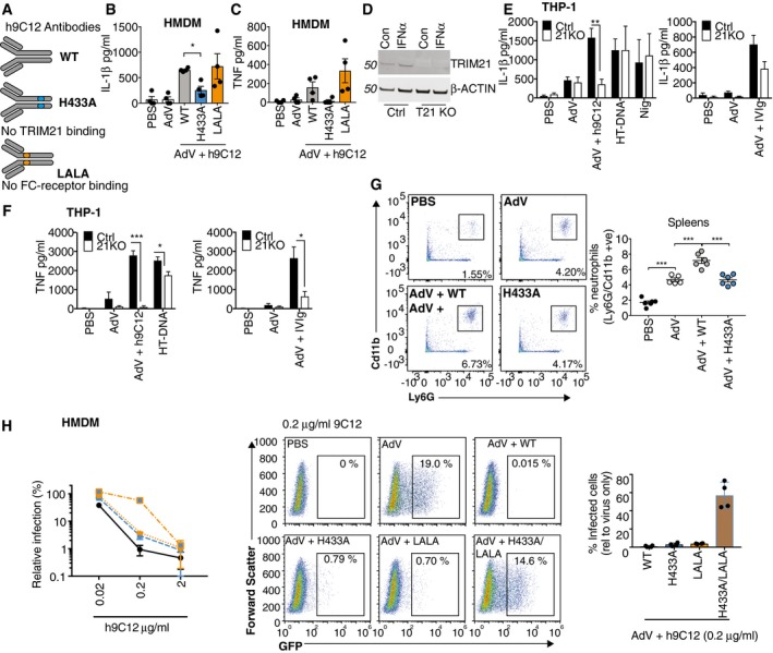 IL‐1β and TNF release in response to AdV and h9C12 monoclonal antibody is TRIM21 dependent Schematic showing the h9C12 antibody mutants that no longer engage Trim21 (H433A) or FC receptors (LLAA). (B) Primed or (C) un‐primed HMDM were stimulated with AdV (50,000 pp/cell) +/− h9C12 (20 μg/ml) for 16 h ( n = 4, mean ± s.e.m. * P ≤ 0.05, paired, two‐tailed t‐ test). Ctrl or Trim21‐deficient THP‐1s were stimulated for 4 h with 1,000 U/ml IFNα and TRIM21 expression measured by immunoblot. WT or TRIM21‐deficient THP‐1s were stimulated with AdV (50,000 pp/cell) and 20 μg/ml h9C12 or 20 mg/ml IVIg or with 200 ng/well HT‐DNA or 10 μM Nigericin for 16 h, and IL‐1β (E) and TNF (F) measured in the supernatant by ELISA ( n = 4 (E) or n = 3 (F), mean ± s.e.m. * P ≤ 0.05, ** P ≤ 0.005, *** P ≤ 0.001 unpaired, two‐tailed t ‐test). WT mice were injected i.v. with 2.5 μg WT or H433A h9C12 antibody and then the next day injected i.v. with 2.5 × 10 11 pp AdV‐GFP. 4 h later spleens were harvested and neutrophil influx measured by flow cytometry ( n = 6 mean ± s.e.m. *** P ≤ 0.001 unpaired, two‐tailed t ‐test). HMDM were stimulated with AdV‐GFP (250 pp/cell) in the presence of h9C12 antibodies at indicated doses. Infection was measured after 24 h by flow cytometry. Infection relative to AdV alone is shown graphed on the left ( n = 4 mean ± s.e.m). Representative plots and a comparison of the different h9C12 mutants at 0.2 μg/ml are also shown in the graph on the right ( n = 4, mean ± s.e.m.). Source data are available online for this figure.