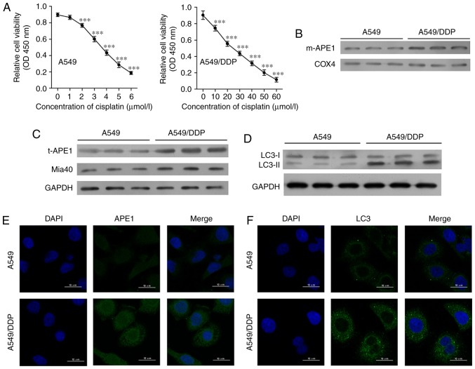 Cisplatin-resistant A549 cells exhibit high levels of APE1 and autophagy. (A) A549 cells were treated with 0, 1, 2, 3, 4, 5 and 6 µmol/l cisplatin for 24 h, and the A549/DDP cells were treated with 0, 10, 20, 30, 40, 50 and 60 µmol/l cisplatin for 24 h. Cell viability was assessed by the CCK-8 assay. (B) Western blot analysis was performed to analyze the levels of mitochondrial APE1 (m-APE1) protein in A549/DDP and A549 cells. COX4 was used as loading control for the mitochondrial APE1 protein. (C) Western blot analysis of the total APE1 (t-APE1) and Mia40 protein levels in A549/DDP and A549 cells. GAPDH was used as a loading control. (D) Western blot analysis of the LC3 protein levels in A549/DDP and A549 cells. (E and F) Immunofluorescence assays were performed to assess the total APE1 and total LC3 levels in A549 and A549/DDP cells. Data represent results obtained from three independent experiments (mean ± SEM of triplicate samples). ***P