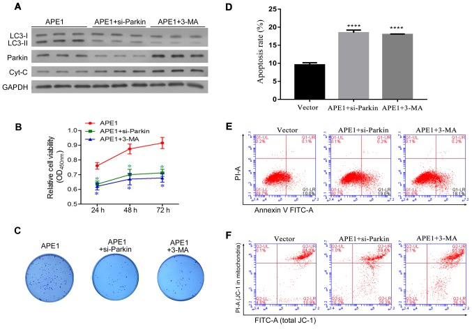 Parkin-mediated mitophagy plays an important role in the APE1-induced cisplatin resistance of A549 cells. A549 cells were first transfected with an APE1 overexpression plasmid. Next, the APE1-overexpressing A549 cells were transfected with small interfering RNA (si-Parkin or si-NC) or treated with 3-MA. (A) A549 cells after the relevant transfections (APE1, si-Parkin or si-NC) and their indicated treatment were subjected to fractionation to obtain the cytosolic fraction. Western blot analysis was performed to analyze the levels of LC3, total cytochrome c , and Parkin in the cytosolic fraction. GAPDH was used as loading control. (B) Following the indicated transfection and treatment, the A549 cells were co-cultured with 3 µmol/l cisplatin for 24 h, and their viability was assessed by the CCK-8 assay. (C) Colony formation assays were performed to analyze the colony formation efficiency of the transfected A549 cells after they had received their indicated treatment. (D) The cell apoptosis rates are shown in a histogram. (E) The apoptosis rates of the transfected A549 cells treated or not with 3-MA were analyzed by flow cytometry. (F) The distribution of JC-1 in the transfected A549 cells was analyzed by flow cytometry. *P