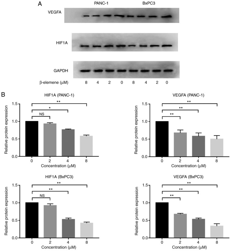 Validation of the HIF1A-VEGFA pathway inhibited by β-elemene in pancreatic cancer. (A) Western blot analysis in PANC-1 and BxPC3 pancreatic cancer cell lines and (B) corresponding histogram of protein expression levels of HIF1A and VEGFA in PANC-1 and BxPC3 pancreatic cancer cells. Three independent biological replicates were performed and data are presented as the mean ± standard deviation. *P