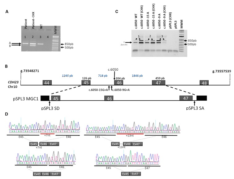 In vivo and in vitro splicing analysis of the identified CDH23 alleles. ( A ) Analysis of the CDH23 mRNAs of whole blood samples (treated and untreated with cycloheximide, CHX) from patient and control by RT-PCR, showing the presence of aberrantly spliced CDH23 transcripts in addition to the wild-type transcript. Lane 1—patient sample (−CHX), Lane 2—patient sample (+CHX), Lane 3—control sample (−CHX), Lane 4—negative control. The band of 563 bp corresponded to the transcript with an in-frame skipping of exon 46. The band around 760–780 bp corresponded to the wild-type as well as to the aberrant transcripts with additional +7 and +13 nucleotides. Subsequent Sanger sequencing of cloned individual bands confirmed the insertion of 7 bp and 13 bp (774 pb, 780 pb bands) corresponding to each mutant allele. Transcripts bearing premature stop codon due to frameshift were only amplified in cycloheximide-treated blood samples (+CHX). ( B ) Schematic representation of the studied genomic region of CDH23 gene and the midigene construct for in vitro splicing assays (MGC1). The position of each mutation is indicated. The genomic region encompassing exons 45, 46, and 47 was cloned between the splice donor (SD) and acceptor (SA) sites within the <t>pSPL3</t> vector. ( C ) In vitro splicing assays in HEK293T cells transfected with either the wildtype (WT) or mutant CDH23 midigenes (MGC1-WT, MGC1-15A, and MGC1-9A, respectively) with or without cycloheximide treatment (+CHX). All constructs (MGC1-WT, MGC1-15A, and MGC1-9A) produced skipping of exon 46. CHX treatment in cells transfected with the mutant constructs increased the relative amplification of the aberrantly spliced transcripts. ( D ) Sanger sequence analysis of each transcript band confirmed the wild-type splicing event in cells transfected with MGC1-WT, in contrast to the addition of +13 and +7 nucleotides in exon 46 in cells transfected with MGC1-15A and MGC1-9A, respectively.