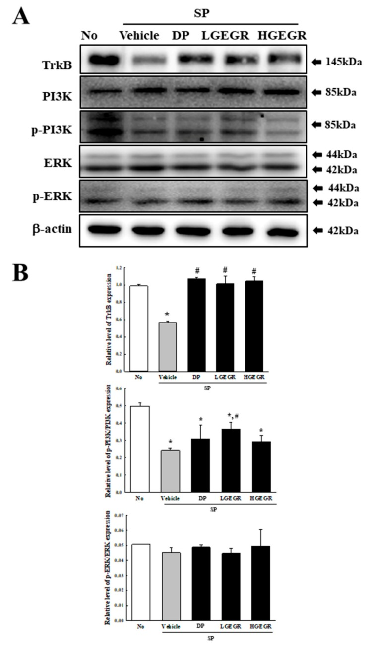 Alteration of the tropomyosin receptor kinase B (TrkB) receptor signaling pathway. Total tissue homogenates were prepared from the brain of Vehicle or GEGR treated SP-injected as described in Materials and Methods. Total protein (50 μg per sample) was immunoblotted with TrkB, p-TrkB, PI3K, p-PI3K, ERK, p-ERK, or β-actin antibodies. The intensity of each band was determined by using an imaging densitometer, and the relative levels of the proteins were based on the intensity of actin. Three samples were assayed in duplicate by western blotting. Data are reported as mean ± SD values. * p