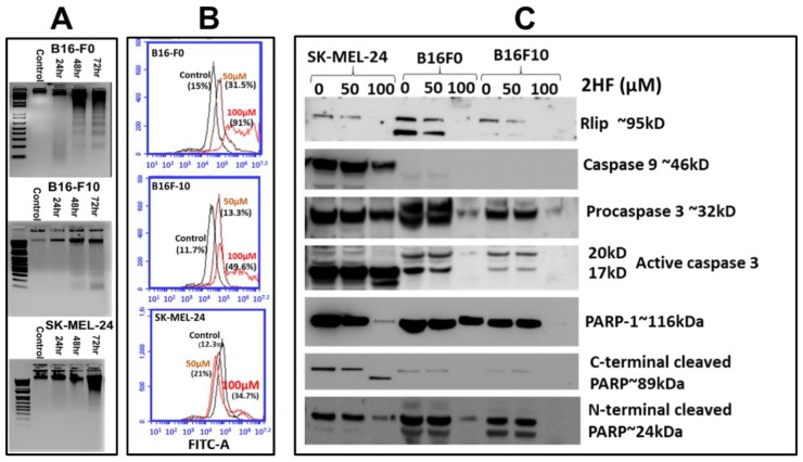 ( A ) 2HF-induced apoptosis detected by DNA laddering in the B16-F0, B16-F10, and SK-MEL-24 cell lines. Mouse and human melanoma cells were incubated with or without 50 µM 2HF for 24–72 h, washed, and harvested. DNA was isolated and processed as described in Materials and Methods Section. Lane 1: Standard molecular size marker (1 Kb). Lane 2: Untreated cells, Lanes 3–5: 2HF- treated cells. ( B ) Effect of 2HF on DNA fragmentation in B16-F0, B16-F10, and SK-MEL- 24 cells as measured by terminal deoxynucleotidyl transferase dUTP-mediated nick-end labeling (TUNEL) assay. Cells were treated with different doses of 2HF for 48 h, as described in Materials and Methods. After treatments, apoptotic intensity of cells was determined by flow cytometry. Histograms show the number (counts) of TUNEL-positive cells in different groups. Data are shown as a logarithmic histogram and expressed as fluorescence intensity of number of counts of the TUNEL-positive cells obtained from the statistical analysis of the fluorescence height and mean value of the x-axis. ( C ) Effect of 2HF on RLIP and the activation of caspases. Melanoma cells were treated with 50 or 100 µM 2HF for 48 h, and then whole-cell lysates were prepared and subjected to Western blotting using antibodies against the indicated proteins.