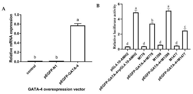 The effect of GATA-4 binding sites on the transcription regulation of AMH gene in geese. ( A ) Overexpression of GATA-4 in the CHO cells. pEGFP-N1 represented an internal control. pEGFP-GATA-4 represented the overexpression plasmid of GATA-4 gene. ( B ) Three binding sites of GATA-4 in the promoter region of goose AMH and mutation constructions were transfected into CHO cells. pGL4.10–AMH2 represented the wild binding sites of GATA-4 in the promoter region of goose AMH . M778, M1399 and M1477 represented the mutation binding sites of GATA-4 in the promoter region of goose AMH , respectively. pEGFP-GATA-4 + pGL4.10-AMH2, pEGFP-GATA-4 + M778, pEGFP-GATA-4 + M1399 and pEGFP-GATA-4 + M1477 represented the co-expression transfection of pEGFP-GATA-4 and three mutation binding sites in the CHO cells, respectively. Each column represented the mean ± SD ( n = 3). Different lowercase letters represented the evident difference ( p