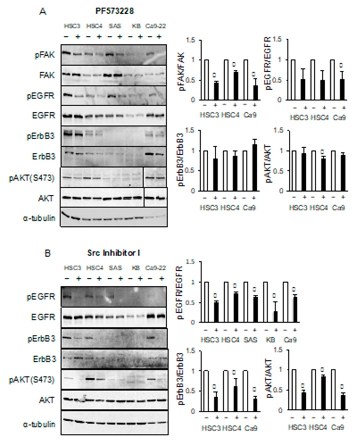 Src inhibitor reduces the phosphorylation levels of EGFR, ErbB3, and AKT. HSC3, HSC4, SAS, KB and Ca9-22 cells were treated ( A ) with or without PF573228 or ( B ) Src inhibitor-1. The levels of phosphorylated FAK (pFAK), FAK, phosphorylated EGFR (pEGFR), EGFR, phosphorylated ErbB3 (pErbB3), ErbB3, phosphorylated AKT (pAKT), and AKT were determined by western blotting analysis. α -tubulin was used as the loading control. * Significantly different from control, p