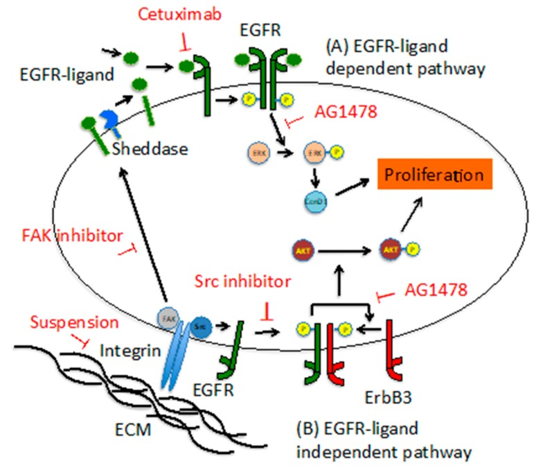 Models of EGFR-ligand dependent pathway and EGFR-ligand independent pathway in EIS cells. ( A ) In the EGFR-ligand dependent pathway, proliferation is promoted via ERK/cyclin D1 by EGFR activated by the binding of an EGFR-ligand and EGFR. The activity of FAK or sheddase may be involved in EGFR phosphorylation. ( B ) In the EGFR-ligand independent pathway, EGFR transactivated via Src by cell-substratum adhesion phosphorylates ErbB3 and promotes proliferation via AKT.