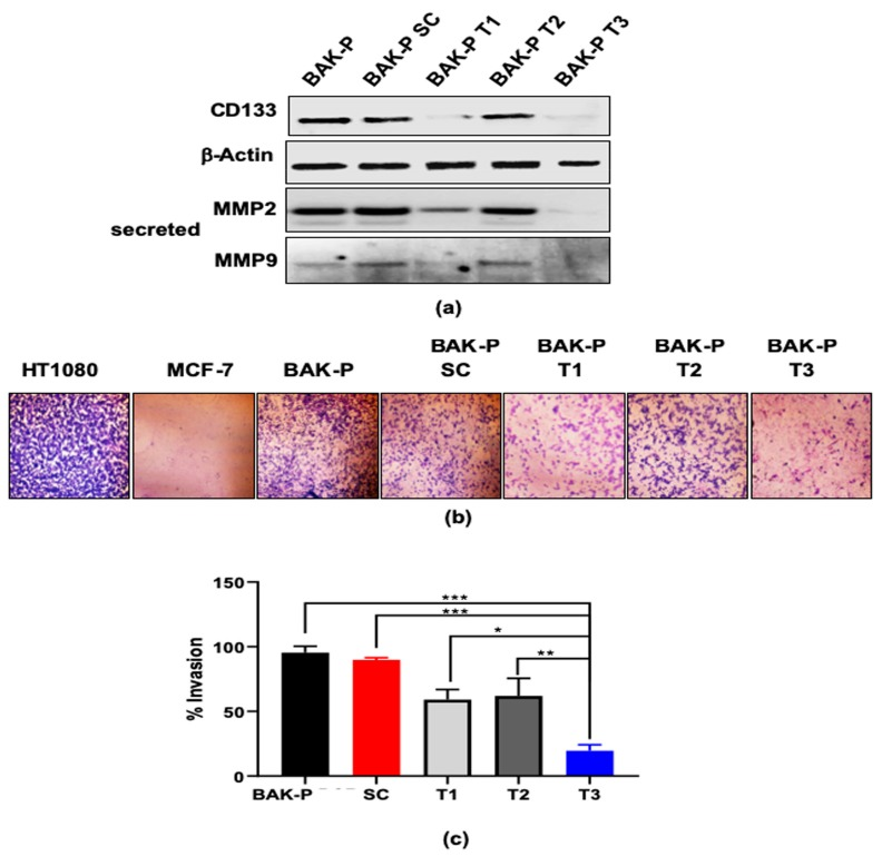 ( a ) Immunoblot analysis showing protein levels of CD133, as well as secreted MMP2 and MMP9, in different CRISPR-Cas9 melanoma cell lines and BAKP; β-Actin verified equal protein loading. Immunoblot analysis shows decreased levels of CD133 and secreted MMPs in CRISPR Cas-9 CD133 knockdown melanoma pooled clone T1 and T3, compared to BAKP and scrambled control cells. ( b ) Representative images of crystal violet stained invading cells after 48 hours in transwell invasion chambers; HT1080 and MCF-7 served as positive and negative controls, respectively. ( c ) Percent invasion of CRISPR Cas-9 CD133 knockdown cell lines (T1, T2, T3) compared to BAKP or scrambled (SC) control cells; *, **, *** represent p