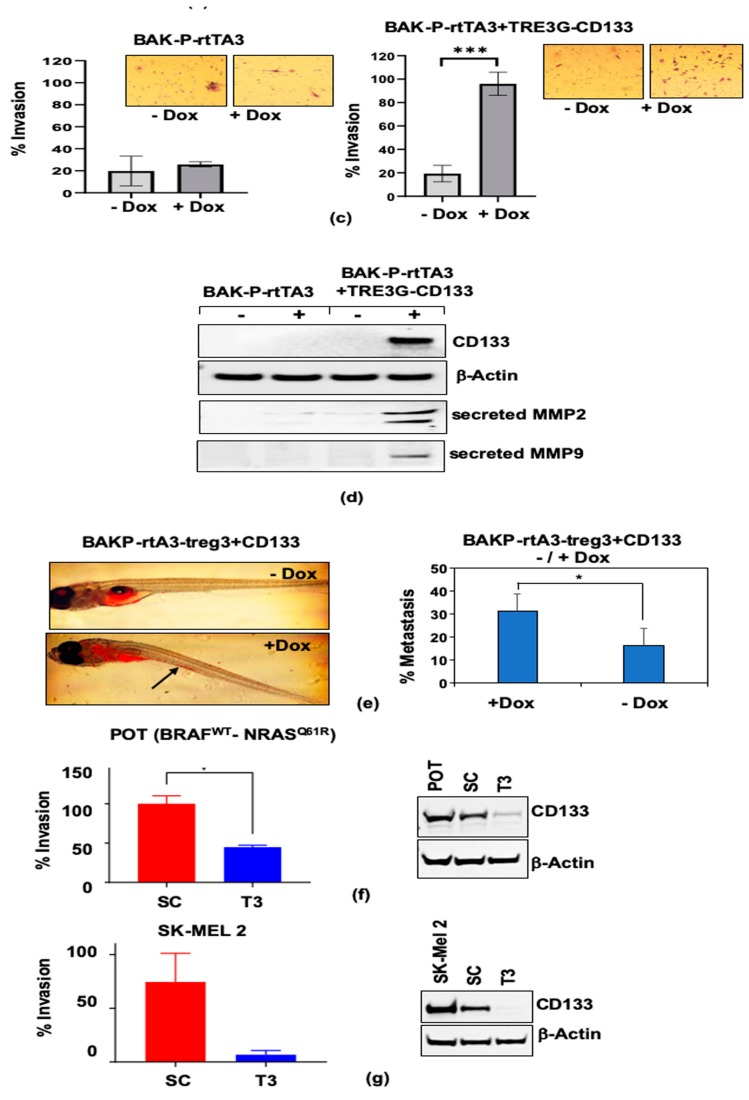 Dox-inducible CD133 expression in BAK-P cells as verified by qPCR ( a ) and immunoblot analysis ( b ). ( c ) Dox-inducible CD133 expression significantly increases cell invasion in transwell assays. ( d ) Immunoblot analysis with antibodies to CD133, MMP9, MMP2, or β-Actin for loading controls, show increased levels of CD133 as well as MP2 and MMP9 secreted by Dox-induced cells. ( e ) Zebrafish assays reveal enhanced metastasis in Dox-induced cells. ( f , g left panels) Invasion assay results with other melanoma cell lines POT ( f ) and SK-MEL2 ( g ) CD133 CRISPR-cas9 SC versus T3 lines are consistent with results with BAK-P cells, showing that knockdown of CD133 ( f , g right panels) results in decreased cell invasion. *, **, *** represent p