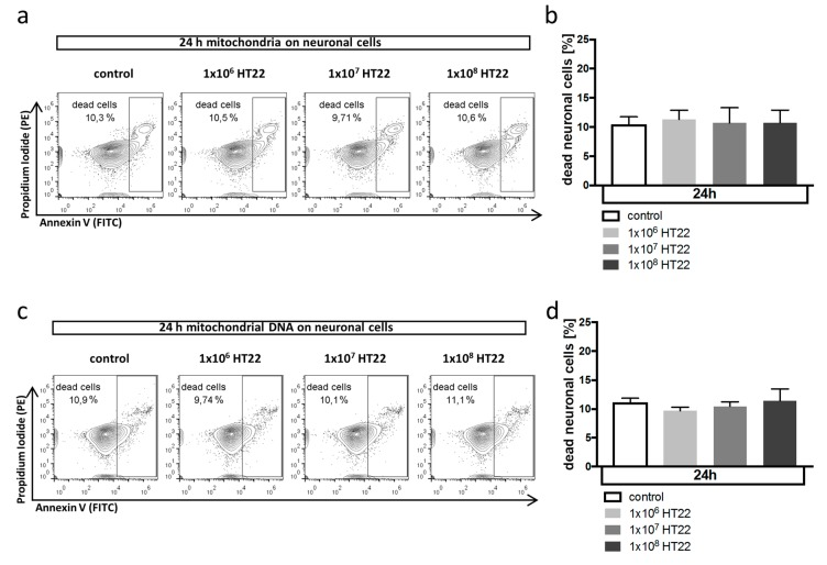 Mitochondrial DAMP pathway does not affect neuronal cell death. ( a , b ) Effect of mitochondria isolated from HT22 cells on neuronal cell death in HT22 cells in vitro analyzed by flow cytometry after annexin V/PI staining. Cells were exposed to mitochondria isolated from the indicated number of cells (( a ) representative flow cytometry plots; ( b ) quantification as % dead cells from total of n = 6 experiments). p = n.s. for all comparisons. Propidium iodide (PI) was detected in the PE channel and annexin V in the FITC channel. ( c , d ) Effect of mitochondrial DNA isolated from HT22 cells on neuronal cell death in HT22 cells in vitro analyzed by flow cytometry after annexin V/PI staining. Cells were exposed to mitochondrial DNA isolated from the indicated number of cells (( c ) representative flow cytometry plots; ( d ) quantification as % dead cells from total of n = 6 experiments). p = n.s. for all comparisons.