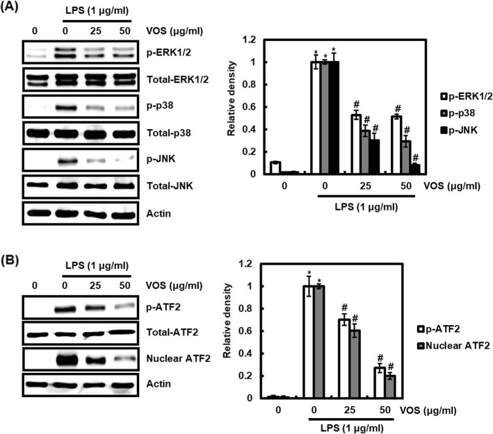 Effect of VOS on MAPK/ATF2 signaling activation. a RAW264.7 cells were pretreated with VOS for 6 h and then co-treated with LPS (1 μg/ml) for 20 min. b RAW264.7 cells were pretreated with VOS for 6 h and then co-treated with LPS (1 μg/ml) for 30 min. After the treatment, the nucleus fraction was prepared. For Western blot analysis, the cell lysates were subjected to SDS-PAGE and the Western blot was performed using antibodies against p-ERK1/2, p-p38, p-JNK p-ATF2 and ATF2. Total-ERK1/2, total-p38 and total-JNK and actin were used as internal control for Western blot analysis. The density of Western blot bands was calculated using the software UN-SCAN-IT gel version 5.1 (Silk Scientific Inc. Orem, UT, USA). * P