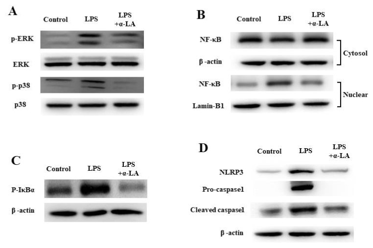 Effects of α-LA on ERK, p38, NLRP3 inflammasome expression and NF-κB translocation in LPS-induced BV-2 microglial cells. BV-2 microglial cells were stimulated with LPS (1 μg/ml) for 30 min followed by treatment with the indicated concentrations of α-LA for 2 hours. (A) BV-2 microglial cells were lysed to whole lysates. Activation of ERK and p38 was detected by western blotting. (B) The translocation of NF-κB was also analyzed through western blotting. BV-2 microglial cells were lysed to cytosolic extracts and nucleic extracts, while both β-actin and Lamin-B1 were used as internal controls. (C) LPS and α-LA treatment was performed as described in the above legends. Finally, Iκ-Bα phosphorylation was detected by western blotting. (D) The western blot was performed to investigate the presence of NLRP3, pro-caspase-1 and cleaved caspase-1.