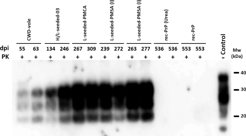 PrP Sc detection in diseased TgVole (1x) brains inoculated with CWD-vole, H/L-seeded-03, L-seeded-PMCA, L-seeded-PMSA, non-infectious fibrillary rec-PrP and non-fibrillated rec-PrP. Biochemical analysis of Proteinase-K (PK)-resistant PrP Sc in brain homogenates from TgVole (1x) inoculated with different misfolded PrPs: CWD-vole, H/L-seeded-03, L-seeded-PMCA, L-seeded-PMSA (I II), non-infectious fibrillary rec-PrP and non-fibrillated rec-PrP. Representative TgVole brain homogenates were digested with 200 μg/ml of PK. The CWD-vole and the PMCA and PMSA-derived misfolded rec-PrPs inoculated TgVole brains accumulated a classical PrP Sc type characterized by a three bands electrophoretic migration pattern. Brains from animals inoculated with the non-infectious fibrillary rec-PrP and non-fibrillated rec-PrP, used as negative controls, did not show any PK resistant band. D18 monoclonal antibody (1:5,000). Control: undigested TgVole (1x) whole brain homogenate. MW: Molecular weight. dpi: days post-inoculation at which each animal was culled due to neurological clinical signs.