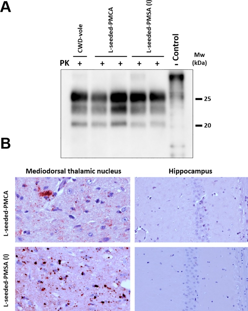 PrP Sc detection and histopathological analysis of diseased bank vole 109I brains inoculated with CWD-vole, L-seeded-PMCA and L-seeded-PMSA. A) Biochemical analysis of Proteinase-K (PK)-resistant PrP Sc in brain homogenates from bank vole I109 inoculated with the misfolded rec-PrPs: L-seeded-PMCA and L-seeded-PMSA, and CWD-vole as control. Representative bank vole brain homogenates were digested with PK (200 μg/ml). All rec-PrP Sc inoculated bank vole brains accumulated a classical PrP Sc type characterized by a three-banded electrophoretic migration pattern, indistinguishable from the CWD-vole inoculated vole brains. 9A2 monoclonal antibody (1:5,000). Control: undigested bank vole whole brain homogenate. MW: Molecular weight. B) Brain deposition of PrP Sc in the mediodorsal thalamic nucleus and the hippocampus of bank voles inoculated with L-seeded-PMCA or L-seeded-PMSA was assessed by immunohistochemistry using the monoclonal antibody 6C2 (1:300). Note, with both seeds, deposition of PrP Sc could be observed in the mediodorsal thalamic nucleus but not in the hippocampus.