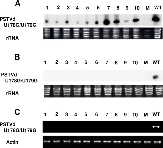 U178G/U179G replicates but fails to exit local leaves following rub-inoculation. Total RNA was collected from: (A) inoculated leaves, (B) upper systemically infected leaves, or (C) petioles of inoculated leaves of 10 plants inoculated with U178G/U179G or wild type PSTVd (WT, one plant, positive control). Mock inoculation (M) was a negative control. (A) RNA blot assay indicates U178G/U179G replication in rub-inoculated leaves. (B) RNA blot assay indicates U178G/U179G is unable to traffic to upper leaves following rub inoculation. (C) RT-PCR indicates U178G/U179G is not present in petioles and fails to exit inoculated leaves. In A and B, the region of the blot corresponding to circular progeny genomes is shown. Loading controls were ribosomal RNA (rRNA) (A and B) and RT-PCR of actin mRNA (C), detected by ethidium bromide staining. Images are representative of 10 (A and B) and three (C) independent experiments.