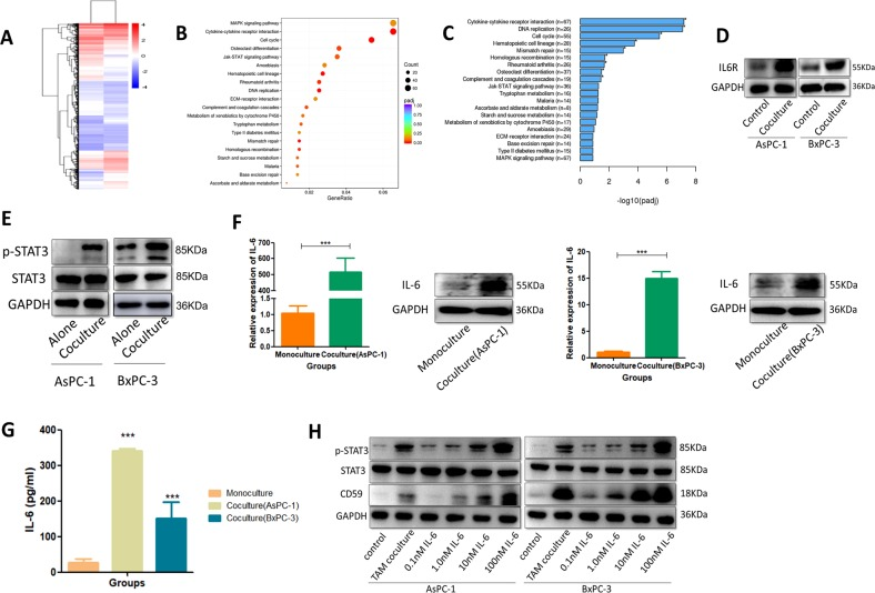Pancreatic cancer-educated macrophages induced the upregulation of CD59 in cancer cells via the IL-6R/STAT3 pathway. a Gene expression profiling in AsPC-1 cells cocultured with THP-1 macrophages compared with AsPC-1 cells. b , c GO and KEGG pathway analyses of differentially expressed genes. d <t>IL6-R</t> was extremely elevated in the cocultured group compared with that in the control group. e AsPC-1 and BxPC-3 cells were cultured with THP-1 macrophages and analyzed for the level of total STAT3 or phosphorylated STAT3 (p-STAT3). f , g IL-6 expression in macrophages cocultured with AsPC-1 and BxPC-3 cells was detected by qRT-PCR, western blot and ELISA. h The CD59 expression and phosphorylation of STAT3 in pancreatic cancer cells incubated with various concentrations of recombinant IL-6 (0, 0.01, 1, 10, and 100 nM) were detected by western blot
