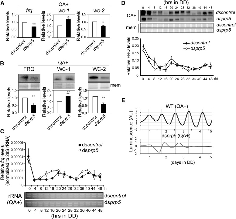 PRP5 regulates Neurospora circadian rhythms. (A) qRT-PCR results of frq , wc-1 and wc-2 in ds control and ds prp5 strains. The strains were grown in constant light (LL). The expression was normalized to 28s rRNA. Values are mean ± SD, n = 5. (B) Western blot results of FRQ, WC-1 and WC-2 in ds control and ds prp5 strains. The strains were grown in LL. Values are mean ± SD, n = 5. (C) qRT-PCR analysis showing the expression of frq RNA in ds prp5 in constant dark over a 48-h time course. Electrophoresis results of RNA samples were shown as control. The expression was normalized to 28s rRNA. The values are presented as the mean ± SD, n = 3. (D) Western blot analysis of the FRQ protein levels in ds prp5 in constant darkness over a 48-h time course. The values are presented as the mean ± SD, n = 3. (E) Representative results of luciferase reporter assays showing the frq promoter activity of the indicated strains in constant darkness. The measurement of luciferase activity was normalized by subtracting the baseline luciferase signal.