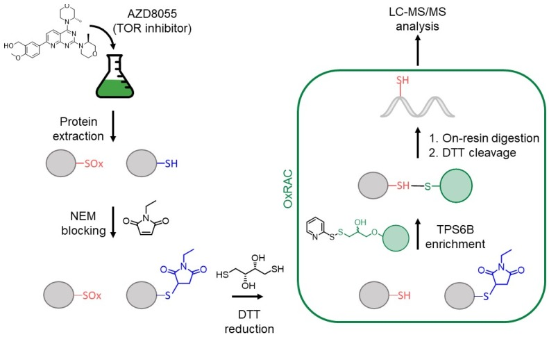 Workflow for proteomic oxidative cysteine analysis of C. reinhardtii with AZD8055 treatment. After protein extraction, reduced cysteine thiols are blocked with N -ethylmalemide (NEM), before reversibly oxidized cysteines are reduced using dithiothreitol (DTT). An oxidized cysteine resin-assisted capture method (OxRAC) is used to enrich proteins containing oxidized cysteines and samples are processed for bottom-up liquid chromatography—tandem mass spectrometry (LC-MS/MS) analysis.