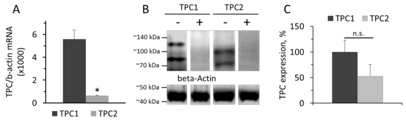 Levels of TPC1 and TPC2 mRNA relative to β-actin mRNA ( A ). Western-blot of TPC1 and TPC2 proteins ( B ) isolated from rat aorta SMCs and relative levels of TPC1 and TPC2 ( C ). The values panel A are the means of four measurements in different SMCs preparation + SEM (* p