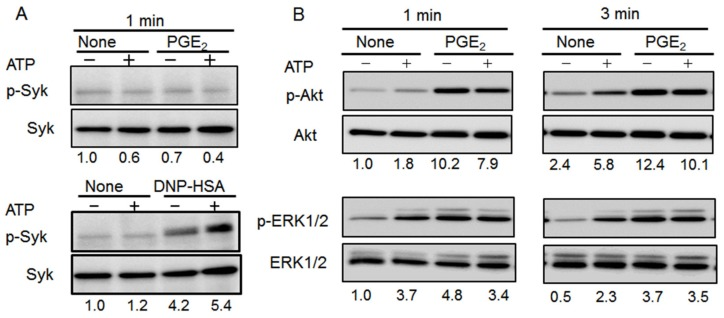 Effect of co-stimulation with ATP and prostaglandin (PG)E 2 on Syk, extracellular signal-regulated kinase (ERK)1/2, and Akt phosphorylation in bone marrow-derived mast cells (BMMCs). ( A ) BMMCs were stimulated with ATP (100 μM) with or without PGE 2 (1 μM, upper) or 2,4-dinitrophenyl human serum albumin (DNP-HAS,10 ng/mL, lower) for 1 min. Cell lysates were subjected to western blot analysis for phospho-Syk and total-Syk. ( B ) BMMCs were stimulated with ATP (100 μM) with or without PGE 2 (1 μM) for 1 (left) or 3 (right) min. Cell lysates were subjected to western blot analysis for phospho-Akt and total Akt (upper) or phospho-ERK 1/2 and total-ERK 1/2 (lower). The numbers below each image indicate normalized relative phosphorylated protein intensity; the results for no stimulation are set to one. Blots are representative of three independent experiments.