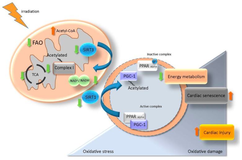 A proposed model for the role of SIRT/ PGC-1/ PPAR alpha network in regulation of radiation-induced cardiac injury. Irradiation impairs the mitochondrial complex I activity resulting in NAD + homeostasis alteration. A change in the level of NAD + /NADH reduces the activity of SIRT3 and enhances the acetylation state of mitochondrial proteins. NAD + /NADH alteration also affects the SIRT1 activity and impairs the PGC-1/ PPAR alpha transcription complex via an increased level of acetylated (inactive) PGC-1. Deactivation of PGC-1/ PPAR alpha is associated with a low level of myocardial metabolism, elevated oxidative damage and accelerated senescence contributing to the radiation-induced cardiac injury.