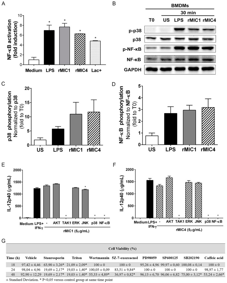 rMIC1 and rMIC4 induce IL-12 production by macrophages through activation of TGF-β activated kinase 1 (TAK1), p38, and nuclear factor-kappa B (NF-κB). ( A ) RAW264.7- luc  murine macrophages were stimulated with the following preparations of  Toxoplasma gondii  microneme proteins: rMIC1 (5 µg/mL), rMIC4 (5 µg/mL), and the native Lac+ fraction (5 µg/mL), which contains MIC1 and MIC4. LPS (500 ng/mL) and medium were used as the positive and negative controls, respectively. Cells were lysed 4 h post-stimulation, and NF-κB activation was inferred from the luminescence measurements. Data are expressed as the mean ± SD of triplicate wells, and data from three independent experiments yielding similar results. ( B ) Total lysates of bone marrow-derived macrophages (BMDMs) was were 30 min after stimulation with rMIC1 (5 µg/mL), rMIC4 (5 µg/mL), or LPS (1 µg/mL). As controls, cells were also incubated with medium (i.e., unstimulated cells [US]) or sampled at time zero (i.e., T0), as indicated at the top of the panels. Immunoblotting was performed to assess total p38 and the p65 subunit of NF-κB, as well as their phosphorylated forms (p-p38 and p-NF-κB). Glyceraldehyde-3-phosphate dehydrogenase (GAPDH) was used as a loading control. ( C , D ) Densitometric analysis to quantify the p38 and NF-κB bands in the Western blot (panel B). ( E , F ) IL-12 concentrations in the supernatant of BMDM cultures that were pretreated with vehicle (-) or pharmacological inhibitors of AKT (Wortmannin, 100 nM), TAK1 (5Z-7-oxozeaenol, 100 nM), ERK (PD9805, 20 μM), JNK (SP600125, 20 μM), p38 (SB202190, 20 μM), or NF-κB (Caffeic acid, 15 µg/mL) for 3 h, and subsequently stimulated with ( E ) rMIC1 (5 µg/mL) or ( F ) rMIC4 (5 µg/mL) for 24 h as assessed by ELISA. LPS (1 µg/mL) and medium were used as the positive and negative controls, respectively. ( G ) Viability of BMDMs pretreated with pharmacological inhibitors of signaling molecules. Statistical analysis comparing the viability of cells (%) tha