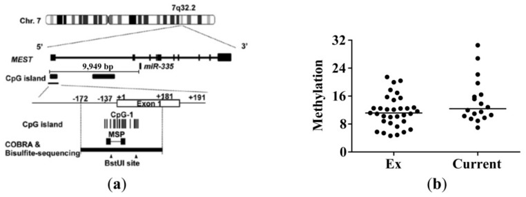Methylation status in the CpG island of the enhancer region of miR-335-5p in lung tissue. ( a ) Location of the primers for methylation-specific qPCR (MSP) and miR-335 (figure adapted from Dohi et al. [ 16 ]). ( b ) Methylation status in specific CpG island was determined in lung tissue from 33 ex-smokers and 18 current smokers. The methylation status was determined as follows: 2^(mean Cp value methylated-specific primers—mean Cp value unmethylated-specific primers). A clear difference was observed between the in vitro methylated and the unmethylated control DNA sample (not shown).