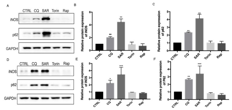 Autophagy inhibition lead to iNOS and p62 accumulation in Raw 264.7 and bone marrow-derived macrophages (BMDM). ( A , D ) Raw 264.7 cells ( A – C ) and BMDMs ( E – F ) were incubated with CQ (30 µM), SAR (1 µM), Torin (1 µM), Rap (1 µM) for 24h. iNOS, p62 levels were detected by western blotting. CTRL is blank control group with DMSO treatment. ( B , E ) Western blot analysis of iNOS in Raw 264.7 cells and BMDM cells under basal condition. ( C , F ) Western blot analysis of p62 in Raw 264.7 cells and BMDM cells under basal condition. ( B – F ) Values were analyzed from three individual experiments by GraphPad Prism, each experiment conducted three times. * p