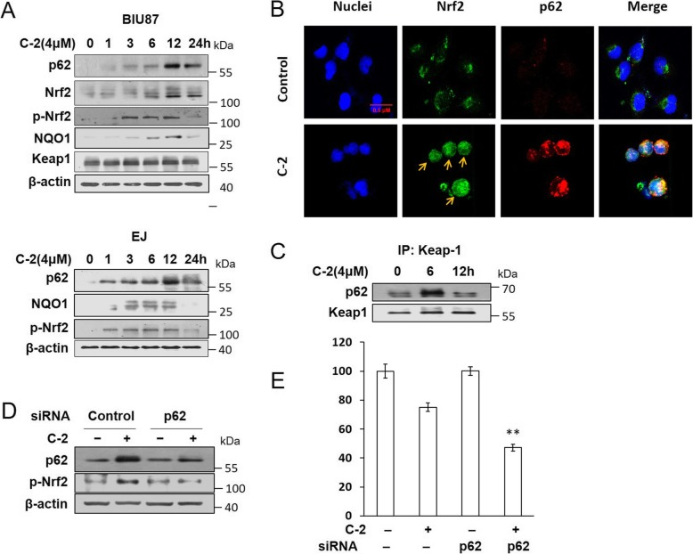 Resisting C-2 induced apoptosis by p62 activated Nrf2 pathway in early time. a Western blotting assay was used to detect the expression levels of p62, Nrf2, <t>Keap1</t> and NQO1 after treated with 4 μM of C-2 for 24 h in BIU87 and EJ cells. b BIU87 cells were treated with C-2 for 6 h. The treated and untreated samples were stained with Nrf2 antibody (Green) and p62 antibody (Red) and DAPI (Blue) (magnification, 400X). The arrow was indicating Nrf2 nuclear translocation. c Immunoprecipitation assay showed the effect of C-2 on the binding of p62 and Keap1 proteins in BIU87 cells for 6 h and 12 h. d Western blotting assay showed the effect of p62 siRNA (20 nM) on expression of p62 and p-Nrf2 proteins in BIU87 cells. e MTT assay detected the effect of siRNA targeting to p62 on the survival rate of BIU87 cells incubated with 4 μM of C-2 for 6 h, ** P