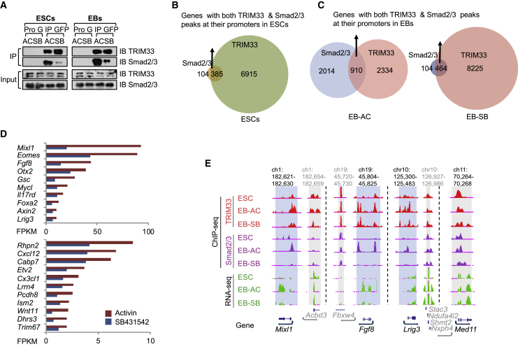 TRIM33 and Smad2/3 Colocalize at Chromatin of Mesendodermal Genes in EBs, but Not in ESCs (A) TRIM33 and Smad2/3 form complex upon nodal signaling both in ESCs and EBs. GFP-TRIM33 overexpressing ESCs or day-2.5 EBs were treated with activin A (hereafter, EB-AC) or SB431542 (hereafter, EB-SB) for 2 h. Cell lysates were immunoprecipitated with anti-GFP-Trap affinity beads, and immune complexes were analyzed by immunoblotting using antibodies against the indicated proteins. (B and C) Venn diagrams show the overlap of genes with both TRIM33 and Smad2/3 peaks at their promoters in ESCs (B), EB-AC, and EB-SB (C). (D) Wild-type (WT) and Trim33 null (KO) EBs at day 2.5 were treated with activin A (AC) or SB431542 (SB) for 2 h, then the total RNA was analyzed using RNA-seq. We identified a group of genes whose expression depends on TRIM33-directed nodal signaling, namely genes depending on nodal signaling and TRIM33 (GDNT) (fold change > 1.5 for AC versus SB in WT EBs, or > 1.5 for WT versus KO in EB-AC, false discovery rate
